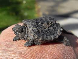 baby snapper
